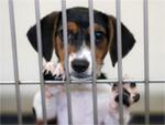dog_beagle_puppy150