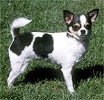 dog_chihuahua150
