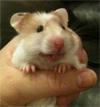 guinea_pig100
